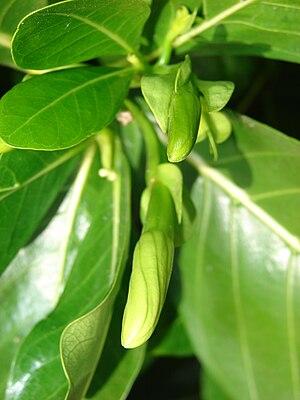 Gardenia taitensis - Image: Starr 070221 4650 Gardenia sp