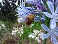 Starr 070308-5371 Agapanthus praecox subsp. orientalis.jpg