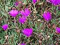 Starr 070308-5382 Lampranthus roseus.jpg