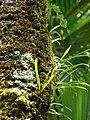 Starr 070321-5975 Lepisorus thunbergianus.jpg