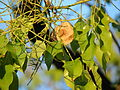 Starr 070727-7622 Pterocarpus indicus.jpg