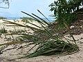Starr 080109-1479 Eragrostis variabilis.jpg