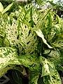Starr 080117-1530 Dieffenbachia maculata.jpg