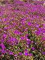 Starr 080219-2880 Lampranthus roseus.jpg