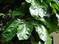 Starr 080531-4994 Schefflera actinophylla.jpg