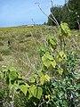 Starr 080602-5475 Abutilon grandifolium.jpg