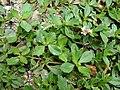 Starr 080607-7279 Phyla nodiflora.jpg