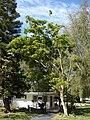 Starr 080614-8907 Ficus benjamina.jpg