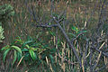 Starr 980630-1513 Prunus persica.jpg