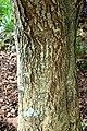 Stenocarpus sinuatus in Auckland Botanic Gardens 01.jpg
