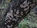 Stereum rugosum BMa5 (2).JPG