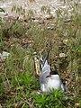 Sterna hirundo -adult incubating eggs-8.jpg