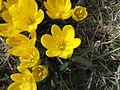 Sternbergia lutea-umbria2.jpg