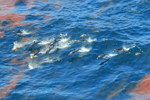 Environmental impact of the Deepwater Horizon oil spill - Striped dolphins (Stenella coeruleoalba)