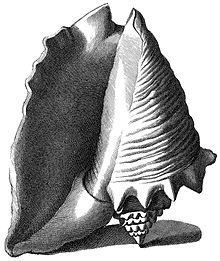 Similar large shell viewed from the apertural side