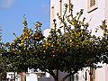 Strovolos-Oranges in the Street.jpg