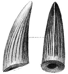Two drawings (side and back view) of a large dinosaur tooth
