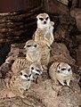 Suricata suricatta - Maroparque 01.jpg