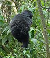 Susa group, mountain gorillas one of the twins - Flickr - Dave Proffer.jpg