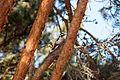 Suur-Kirjurähn - Great-Spotted Woodpecker.jpg