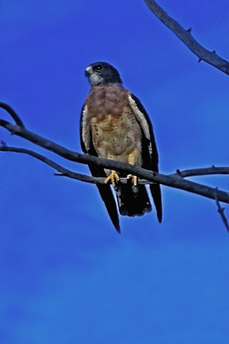 Swainson's hawk - Rufous-morph bird in Hereford, Arizona, on its way to the pampas