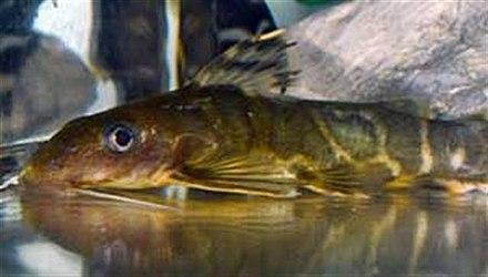 Synodontis Pleurops