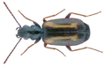 Syntomus fuscomaculatus (Motschulsky 1844) (32432395632).png