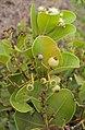 Syzygium caryophyllatum 07.JPG