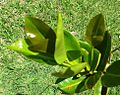 Syzygium contractum - Bois de pomme - Mauritius endemic tree.jpg