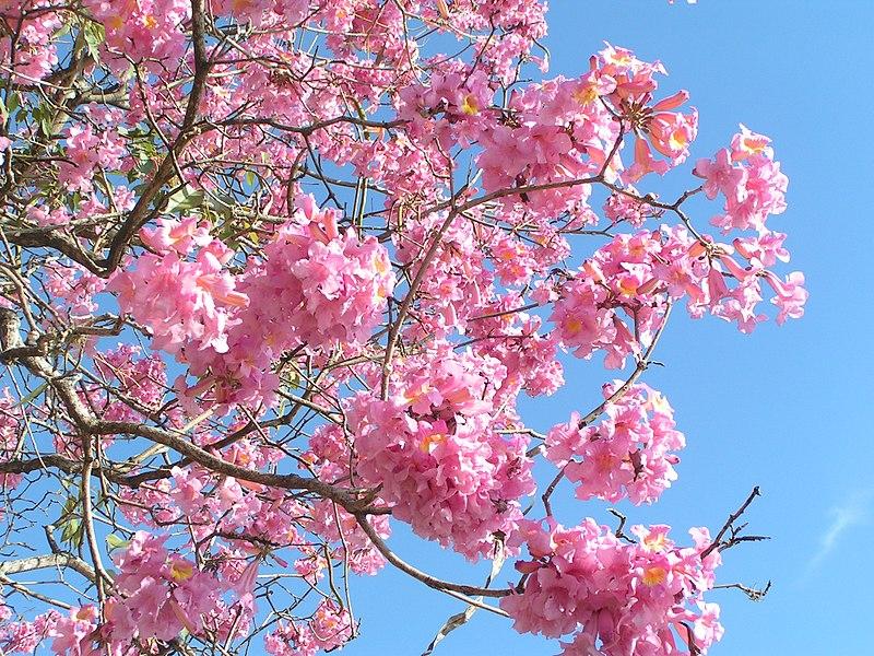 tabebuia en fleurs