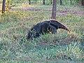 Tamanduá-bandeira (Giant anteater) - panoramio.jpg