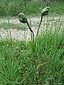 Tamier parasité 5.jpg