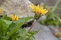 Taraxacum alpicola var. shiroumense 01.jpg