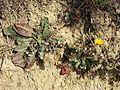 Taraxacum serotinum sl81.jpg