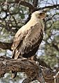 Tawny Eagle, Aquila rapax, pale form at Kgalagadi Transfrontier Park, Northern Cape, South Africa (33766110393).jpg