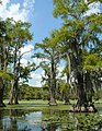 Taxodium distichum Caddo Lake TX 2.jpg