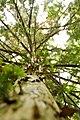 Taxus-baccata 12-18-B WLE2020 Denis-Apel 2.jpg