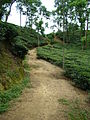 Tea Garden in Malini chora Sylhet Bangladesh (4).JPG