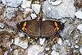 Telenassa trimaculata (Nymphalidae- Argynninae- Melitaeini) (29637892532).jpg