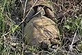 Testudo hermanni - šumska kornjača Srbija (7).jpg