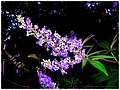 Texas Lilac - Flickr - pinemikey.jpg
