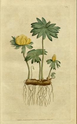 The Botanical Magazine, Plate 3 (Volume 1, 1787).png