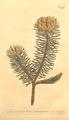 The Botanical Magazine, Plate 475 (Volume 14, 1800).png
