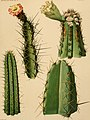 The Cactaceae - descriptions and illustrations of plants of the cactus family (1919) (14782801702).jpg
