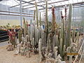 The Cleistocactus collection (4552488348).jpg