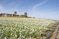 The Flower Fields at Carlsbad Ranch 93 2014-04-28.jpg