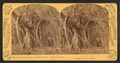 The Great Banyan or Indiarubber tree. Largest in America. Florida, from Robert N. Dennis collection of stereoscopic views.png