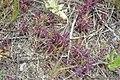 The beginnings of Salt marsh bird's beak (6798027245).jpg