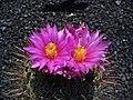 Thelocactus conothelos argenteus 02.JPG