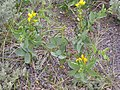 Thermopsis rhombifolia (4018713468).jpg